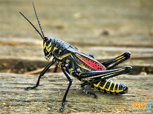 CATEGORY: Grasshopper or Cricket COMMON NAME: Southeastern ...