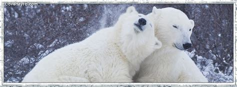 polar bear love facebook covers polar bear love fb covers