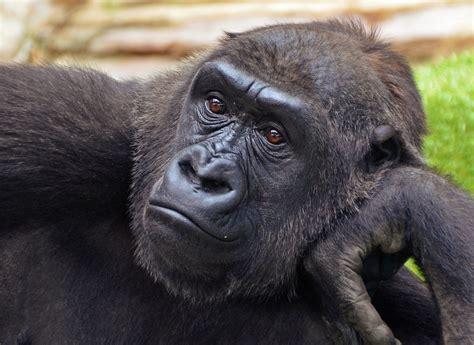 Gorilla Resumen by Archivo N Tami Western Gorilla Jpg Wikiquote