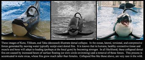 Orca Dorsal Fin Controvery