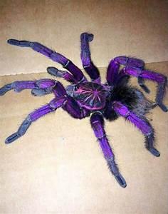 Purple tarantula Pamphobeteus sp. machalla (Purple Bloom ...