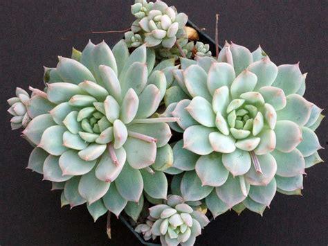 Echeveria prolifica (Prolific Echeveria) | World of Succulents
