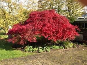 Roter Ahorn Baum : das herbstlaub der schlitzahorne leuchtet in rot orange ~ Michelbontemps.com Haus und Dekorationen