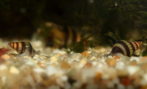 mangeur d escargot aquarium anentome helena