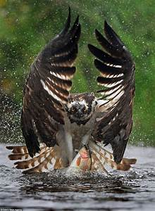 7 Incredible Photos of an Osprey Diving for Trout