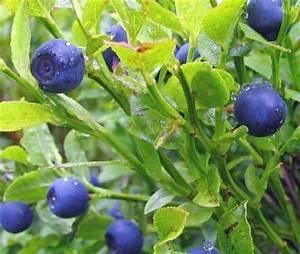 Heidelbeeren Pflanzen Balkon : wachsen heidelbeeren im garten ~ Lizthompson.info Haus und Dekorationen