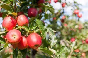 Baum Pflanzen Anleitung : apfelbaum steckbrief pflanzen und pflege ~ Frokenaadalensverden.com Haus und Dekorationen