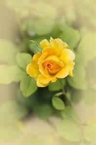 Dreamy Yellow Rose