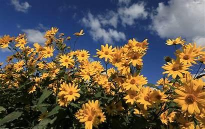 Daisies Yellow Flowers Daisy Flower Wallpapers Jooinn