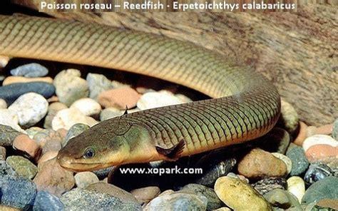 erpetoichthys calabaricus serpent d eau 28 images achat en ligne de poisson roseau