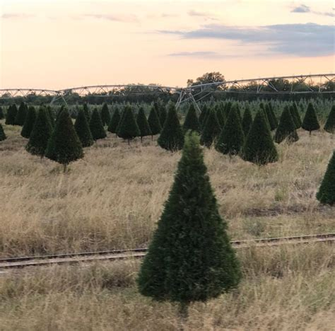 awesome picture of dewberry farm christmas trees