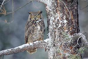 Great Horned Owl In Winter Photograph by Tim Fitzharris