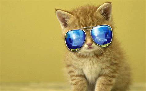 cool kitten wearing shades wallpaper  wallpapers