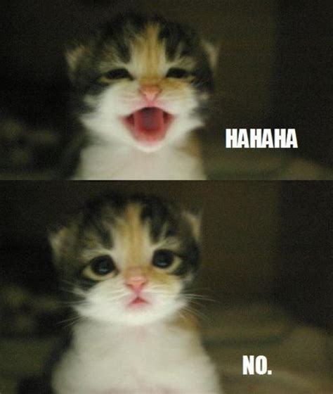 No Meme Cat - image 551854 ha ha ha no know your meme