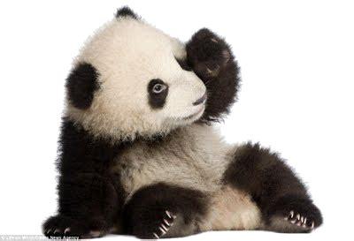Panda Transparent PNG Image   Web Icons PNG