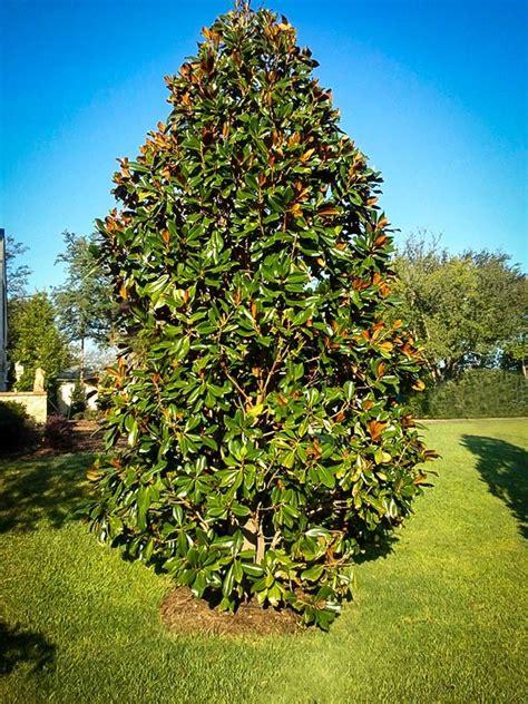 magnoloa tree southern magnolia blanchard the tree center