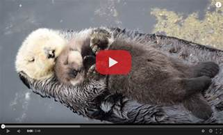 Cute Baby Sea Otters