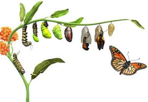 Caterpillar Butterfly Life Cycle