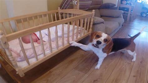 beagle dog rocking  sweet baby girl  sleep youtube