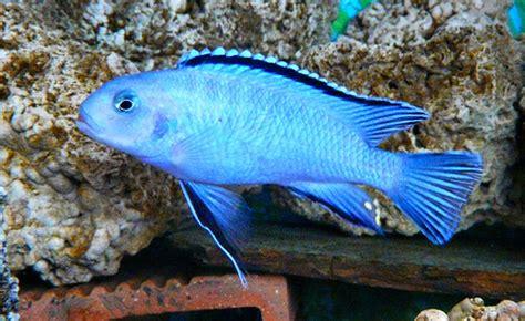 Pseudotropheus socolofi   Flickr - Photo Sharing!