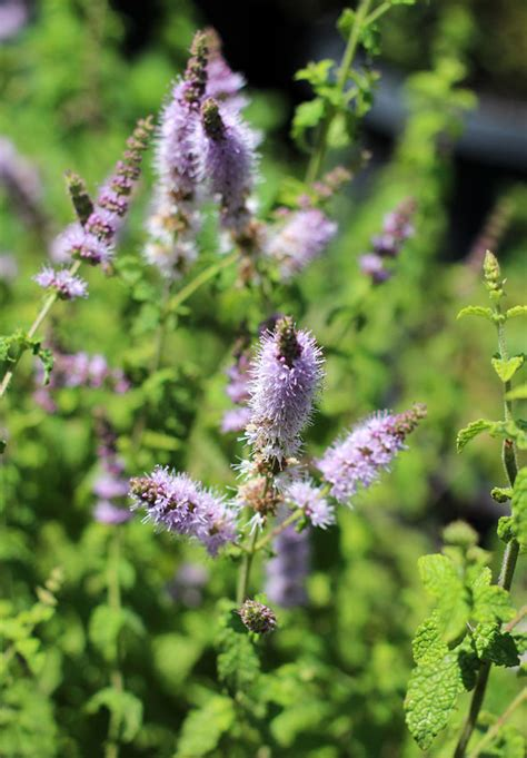 mint strawberry mentha spicata buy   annies annuals