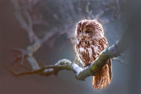 owl wallpapers  hd