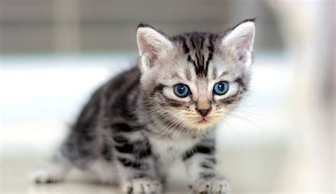 Shorthair Cat by 5 Things To About American Shorthair Cats