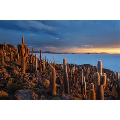 Cacti on the Isla Del Pescado Above Salar De Uyuni at