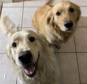 golden retriever puppies for sale corona ca 316278