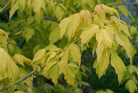 Acer negundo 'Odessanum' - Ošlapu kļava