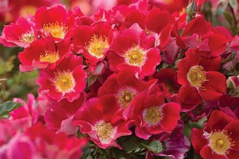 carefree spirit root rosa landscapeshrub carefree spirit