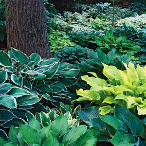 shade hostas top 10 shade perennials the ungardener