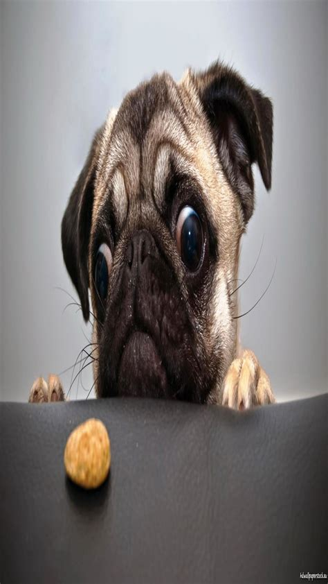 funny pug pictures wallpaper  images