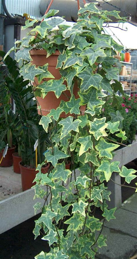 edera coltivazione in vaso piante da vaso hedera edera hedera canariensis hedera