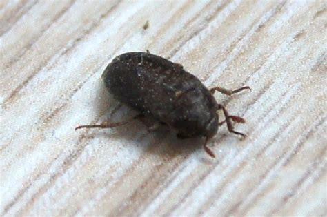taille chambre à air identification petit insecte noir nocturne notre planete