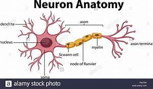 Diagram Of Neuron Anatomy Illustration Stock Vector Art