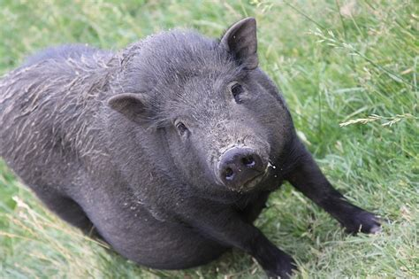 small black pig public domain