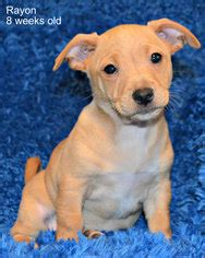view ad chihuahua rottweiler mix dog  adoption