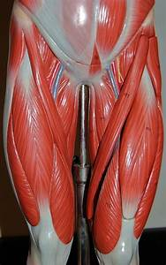 Muscles Of The Upper Legs  Anterior View