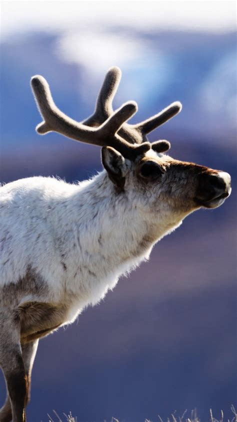 Iphone 6 Animal Wallpaper - reindeer animal iphone 6s wallpapers hd