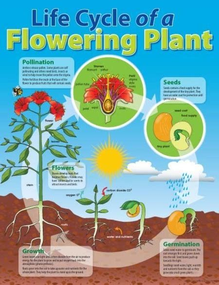 Life Cycle Of A Flowering Plant Chart  Australian Teaching Aids Educational Resources And