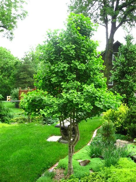 trees for garden ginkgo jade butterfly small to mid size trees pinterest gardens landscaping ideas and