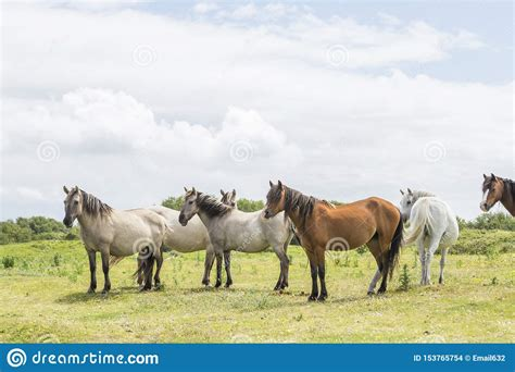 ponies isle anglesey wales wild
