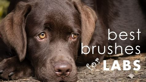 dog brush  labs    vet