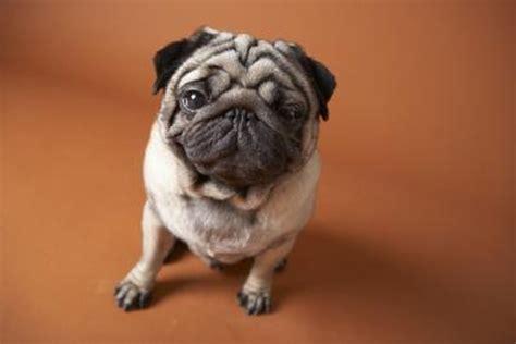 hypoglycemia  pugs pets