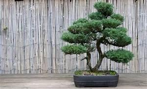 Mediterrane Bäume Winterhart : japanische pflanzen winterhart die zehn besten outdoor bonsai fr einsteiger nowaday garden ~ Frokenaadalensverden.com Haus und Dekorationen