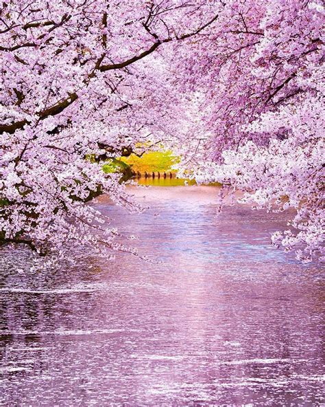 hirosaki cherry blossom festival aomori japan