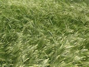 Barley Forage