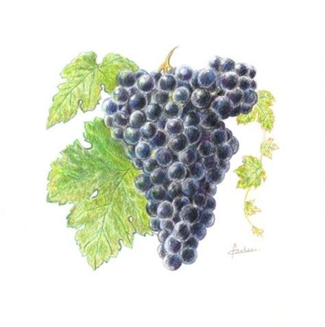 le grappe de raisin grappe de raisin cabernet sauvignon dessin aux crayons 20 x 20 cm dessins par atelier iris