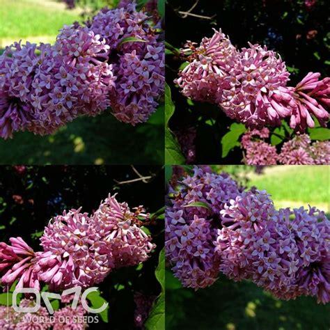 lavender soil ph 17 best images about shrubs on pinterest vitex agnus castus sun and evergreen shrubs